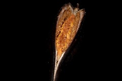 Brachychiton acerifolius (andreas lambrianides) Tags: brachychitonacerifolius malvaceae brachychitonacerifoliusvartypicum clompanusacerifolia sterculiaacerifolia illawarraflametree lacebarktree flametree flamekurrajong kurrajong australianflora australiannativeplants australianrainforests australianrainforestplants arfp qrfp cyrfp nswrfp australianrainforestfruitsandseeds australianrainforestfruits australianrainforestseeds arffs brownarffs