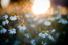 Chamomile sun. (jakub.sulima) Tags: nikon d7000 nikkor 50m 14 natur nature flora flores serene flower flowers plant plants fleur bokeh bokehlicious sun sunlight sunset sunny sunshine evening july summer hot field wild wildlife chamomile camomile blur dof depthoffield natural golden goldenhour naturaleza out outdoor outside wander travel countryside shadow landscape poland country colours colorful gold yellow orange white green blue beige art artistic pretty