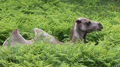 Sultan (Sinkha63) Tags: chameaudebactriane bactriancamel camel chameau beynat nouvelleaquitaine france fra