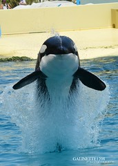 Face to face with a powerful orca (GALINETTE1208) Tags: orca wikie marineland orque front flip mld 2017 nikon d5200 killer whales