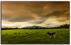 Bedding down for the night... (tippjim) Tags: tippjim nikon2470 tipperary cows sunset clouds slievenamon