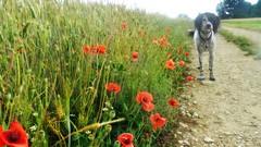 ~~ Hélèna et les coquelicots ... ~~ (Joélisa) Tags: juin2017 hélèna coquelicots fleurs flowers chemin blé