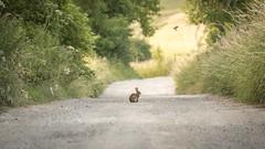 brief encounter (Emma Varley) Tags: rabbit path eveningsun warmlight southdownsway alone