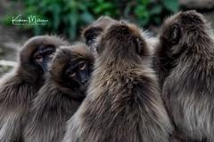 Gelada Baboon (Karen Miller Photography) Tags: edinburghzoo zoo captivity captive edinburgh geladobaboon baboon animal nikon rzss scotland enclosures karenmillerphotography