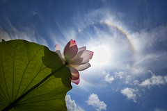 Reaching The Ring (Claire Chao) Tags: pink blue flower green rainbow flora lotus blossom taiwan halo bluesky ring  greenleaf    canoneos5dmarkii ntuankangfarm