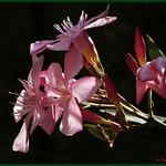 OLEANDRO  ( Nerium oleander L.)