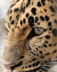 Amur Leopard by Mully410 * Images