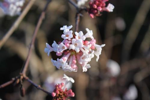 Viburnum, frost