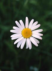 (00057) Llygad y Dydd - Daisy (Parc Cenedlaethol Eryri - Snowdonia National Park) Tags: park uk flowers flower wales y north cymru national daisy snowdonia parc eryri blodau blodyn llygad llygaid gogledd cenedlaethol dydd