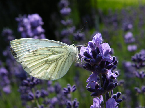 White On Lavender