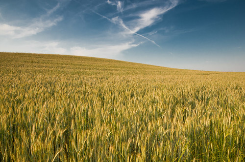 [フリー画像] 花・植物, イネ科, 小麦・コムギ, 自然・風景, 田畑・農場, ドイツ, 201007040700