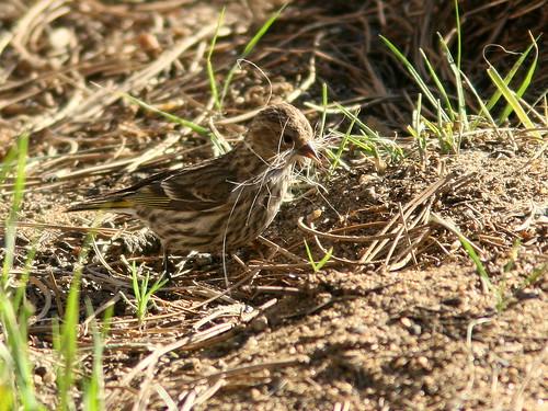 Pine Siskin gathering nest material 20100617
