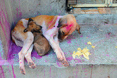 Dogs of Jodhpur (Irene Stylianou) Tags: sleeping dog india dogs puppy nikon paint sleep streetphotography photojournalism nikkor holi nikondigital vr rajasthan jodhpur d300 holifestival animalportrait straydogs nikoncamera animalphotography streetdogs indianfestival nikkor18200mm indiantradition indiandogs nikond300 indiananimals irenestylianou dogsofjodhpur nikkorzoomlens18200mmf3556