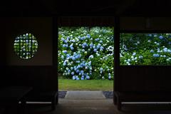 Japan's rainy season (k n u l p) Tags: flower rain japan garden season kyoto olympus rainy botanic hydrangea e3 zd 1454mm