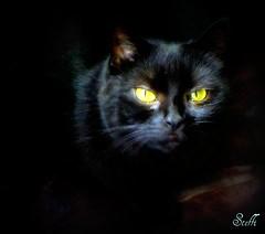 Bright eyes - burning like fire (sirinisunshine) Tags: cats black negro gato katzen yass