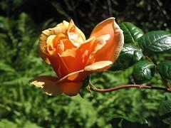 Flower of Filbert Steps