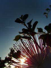 Sun through a caper flower (VillaRhapsody) Tags: flower backlight sunrise turkey dusk stamens flare backlit wildflower caper fethiye bigmomma kayaköy challengeyouwinner villarhapsody jeannesmits jeannegünesoglu