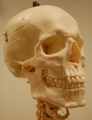 Skull, anterolateral view (Rob Swatski) Tags: face skeleton skull model lab head jaw teeth science orbital anatomy bones bone frontal biology nasal temporal physiology mandible hacc hyoid maxilla zygomatic swatski