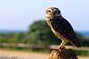 Onde a coruja dorme (Richard E. Ducker) Tags: santa praia natureza ave coruja brava catarina passaro itajai