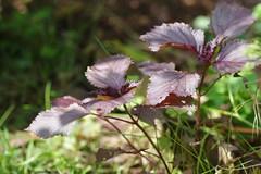 庭の赤紫蘇