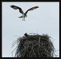 Empty-Handed (idashum) Tags: bird nikon searchthebest nest jackson raptor wyoming ida osprey shum birdofprey aerie grandtetonnationalpark ospreynest idashum dcpt10