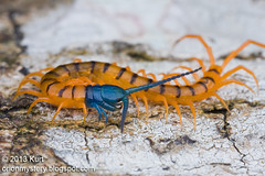 A beautiful centipede.........IMG_1231 copy (Kurt (OrionHerpAdventure.com)) Tags: blue orange fauna insect flora predator centipede macrophotography macroimages orionmystery upclosewithnature macroblog