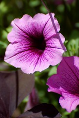 purple annual petunia