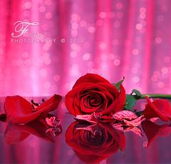 Rose _ 4u   ...{Explore} (Fahad-Z) Tags: rose canon 100mm 4u fahad       450d