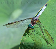 Dragon fly on Lotus leaf (ms2thdr) Tags: ri dragonfly wickford canon14xteleconverter egyptianlotus canon300mmf40l canon5dmii nikplugins tonykuypersharpening