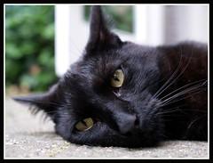 So hot again ....... (Jan Gee) Tags: pet cats black animal cat katten kat feline chat noir kitty gato pip gata katze zwart gatto katzen negra poes poezen schwarz kot noire