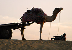 camel at the end of the day (albatz) Tags: travel india silhouette camel jaisalmer thardesert lpdesert lpdeserts