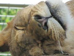 lion (kerindaj) Tags: canada bird animals zoo meerkat winnipeg manitoba prairiedog assiniboinepark assiniboineparkzoo kerindaj