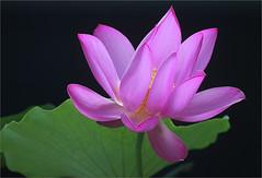 Lotus Flower - IMG_1670-p (Bahman Farzad) Tags: flower macro yoga peace lotus relaxing peaceful meditation therapy lotusflower lotuspetal lotuspetals lotusflowerpetals lotusflowerpetal
