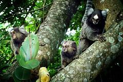 My backyard friends (e_vieira) Tags: brazil nature animals brasil natureza animais saguis wildanimals marmosets animaisselvagens smallmonkeys