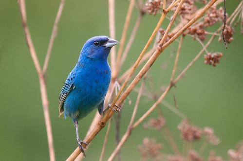 [フリー画像] 動物, 鳥類, ショウジョウコウカンチョウ科, ルリノジコ, 201007160500