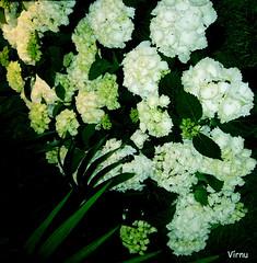 Flores 187 - F 9 (VRNU) Tags: flores vrnu floresporlapaz giveme5awardthenext5pictures stunningnatureonblack