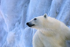 Polar Bear on Ice (KEENPRESS) Tags: winter white snow nature norway horizontal mammal outdoors photography freedom day wildlife nopeople polarbear onthemove lookingaway endangeredspecies oneanimal animalthemes coldtemperature svalbardislands