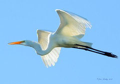 Egret In The Bright Sunshine! (JRIDLEY1) Tags: bird nikon egret greatwhiteegret specanimal anawesomeshot egretflying flyingegret jridley1 jimridley httpjimridleyzenfoliocom photocontesttnc10 photocontesttnc11 photocontesttnc12