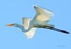 Egret In The Bright Sunshine! (JRIDLEY1) Tags: bird nikon egret greatwhiteegret specanimal anawesomeshot egretflying flyingegret jridley1 jimridley httpjimridleyzenfoliocom photocontesttnc10 photocontesttnc11 photocontesttnc12 photocontesttnc13
