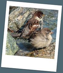 Yvoire Jardin des Cinq Sens (I love beachhuts) Tags: lake france bird polaroid medieval sparrow lakegeneva laclman yvoire