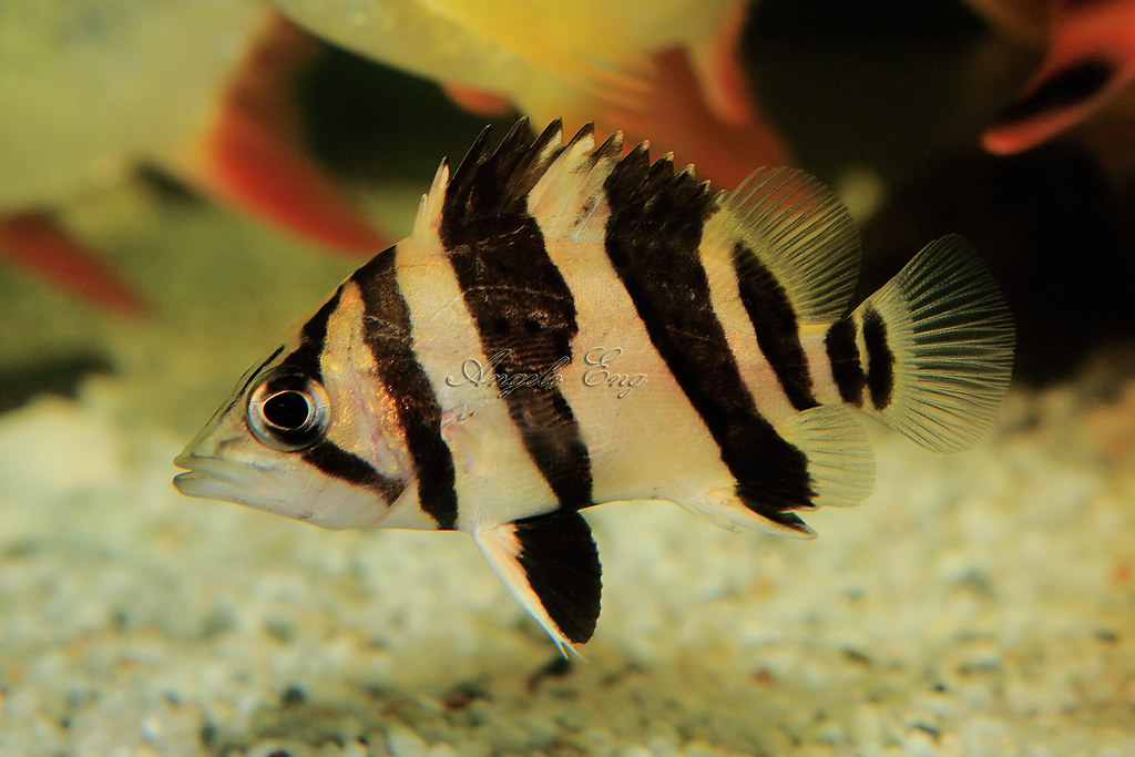 Beginner S Guide To Datnioides Tiger Fish