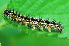 Small Tortoiseshell Caterpillar Aglais urticae (sallybea) Tags: macro photo foto small insects tortoiseshell caterpillar nettles aglais urticae belitecaterpillarsandlarvaeb