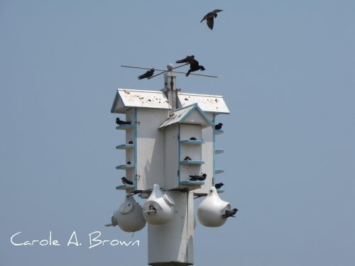 Purple Martins in the Wildlife Garden