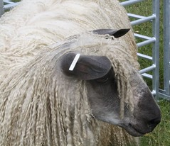 Longwool sheep (keepinsidethelines) Tags: sheep rarebreeds wealdanddownlandmuseum longwoolsheep