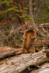 Marmot in Grand Teton N.P. (westernskies_de_2) Tags: usa northwest pacificnorthwest marmot wyoming grandteton tetonrange grandtetonnationalpark jennylake