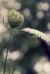 stages (Barbara.K) Tags: flower nature vintage weeds dof bokeh muted bloomingtonin tamron18200mm differentialfocus eos500d canonrebelt1i