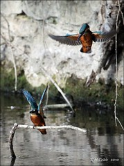 Kingfishers (Alcedo atthis), Fighting over fish (Russ Cribb) Tags: uk wild summer bird nature river bath wildlife pair south watch july halcyon gloucestershire kingfisher british colourful avon 2010 alcedoatthis alcedo atthis alcedinidae swineford russcribb bs306lw
