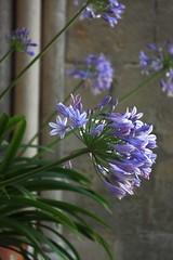 Agapantes - Agapanthus - Agapanthaceae (Sokleine) Tags: flowers france fleur abbey arches 95 abbaye valdoise royaumont agapanthaceae agapante wonderfulworldofflowers