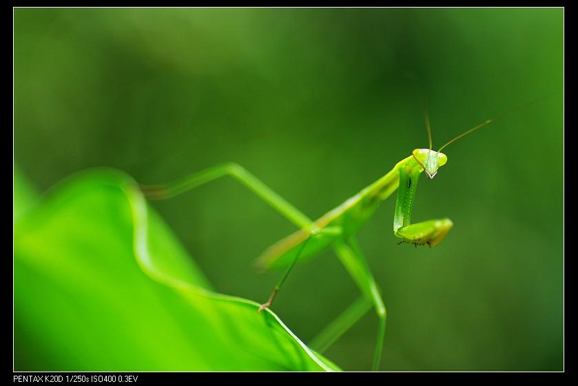 2010/07/23 光圈2.8-螳螂一隻!
