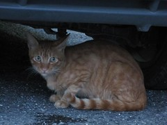Cat Under My Car